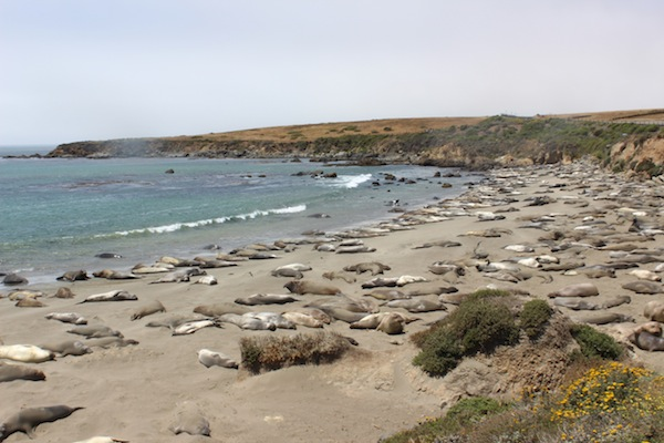 Elephant Seals on the PCH
